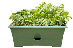 Container Salad Garden, Isolated Royalty Free Stock Images