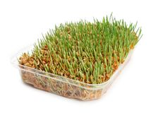 Container with sprouted wheat grass seeds. On white background stock images