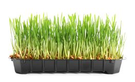 Container with sprouted wheat grass seeds. On white background royalty free stock photo