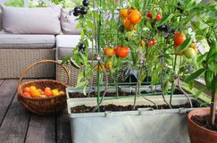 Free Container Vegetables Gardening. Vegetable Garden On A Terrace. Red, Orange, Yellow, Black Tomatoes Growing In Container Royalty Free Stock Photo - 158312315
