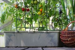 Free Container Vegetables Gardening. Vegetable Garden On A Terrace. Red, Orange, Yellow, Black Tomatoes Growing In Container Royalty Free Stock Photos - 161058348