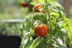Container vegetables gardening. Vegetable garden on a terrace. Herbs, tomatoes growing in container.  stock photography