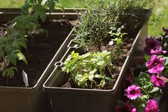 Container vegetables gardening. Vegetable garden on a terrace. Herbs, tomatoes seedling growing in container . Flower royalty free stock image