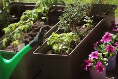 Container vegetables gardening. Vegetable garden on a terrace. Herbs, tomatoes seedling growing in container . Flower stock photo