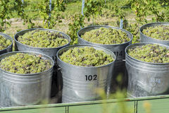 Containers Full Of White Grapes On The Trailer Stock Image