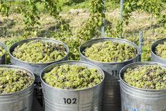 Containers Full Of White Grapes On The Trailer Royalty Free Stock Photography