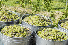 Containers Full Of White Grapes On The Trailer Royalty Free Stock Images