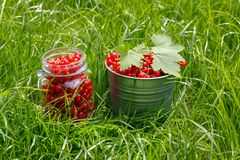 Containers with harvested red currant crop in green grass.  stock photography