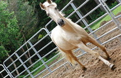 Containment Horse Fencing. A Palomino-coloured Kentucky Mountain Horse against a ring fence royalty free stock photography