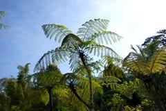 Contaminans di Cyathia delle felci di albero del Monte Kinabalu, Borneo, Malesia Immagini Stock