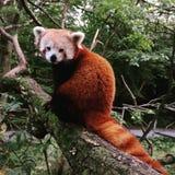 Contatto oculare con il panda minore fotografia stock libera da diritti