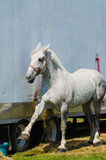 Conteggio del cavallo da tiro di Percheron Immagini Stock Libere da Diritti
