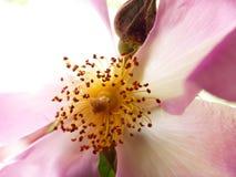 conteggio del polline fotografie stock