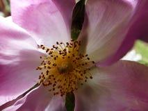 conteggio del polline Fotografia Stock