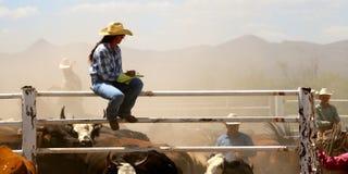 Conteggio delle mucche Fotografia Stock