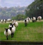 Conteggio delle pecore Fotografia Stock Libera da Diritti