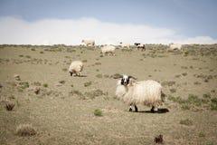 Conteggio delle pecore Immagine Stock Libera da Diritti