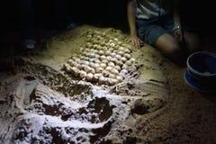 Conteggio delle uova della tartaruga Immagini Stock Libere da Diritti