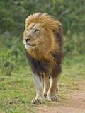 Contemplando o leão Fotografia de Stock Royalty Free