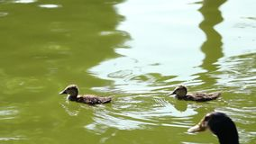 Two cute ducks and his mother. Contemplate two duck brothers and his mother watching them with love stock video
