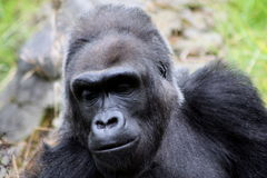 Contemplating. Gorilla thinking for a long time Royalty Free Stock Photo