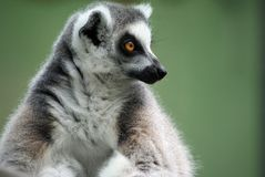 Contemplating Lemur Royalty Free Stock Photography