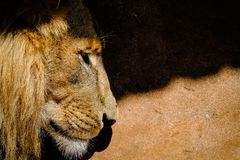 The Contemplating Lion. Lion contemplating life and his strength while moving out of the shadows stock photo