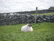 Contemplating sheep on Ireland coast Royalty Free Stock Image