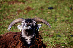 Contemplating sheep Stock Image