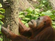 Contemplation. Orangutan contemplating a climb Stock Photography