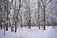 The contemplation of amazing winter forest gives a sensation of cheerfulness and fullness of life. At heart there is a feeling of holiday, which is generously stock photos