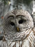 Contemplation. Beautiful young Owl in Contemplation Stock Photo
