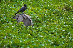 Contemplation of the crow. A crow was standing in a daze on a rock royalty free stock images