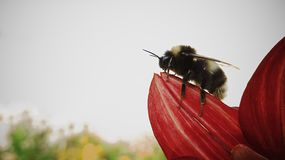 Contemplative bee and big red flower Stock Photography