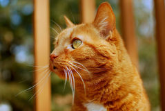 A Contemplative Cat Royalty Free Stock Image