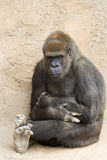 Contemplative Gorilla. A lowland gorilla is sitting against a wall with crossed legs and a contemplative facial expression.  Taken at Albuquerque Zoo Stock Photo