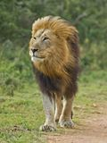 Contemplazione del leone fotografia stock libera da diritti