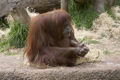 Contemplazione dell'orangutan Fotografia Stock