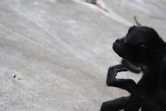 Contemplazione della scimmia Fotografie Stock