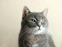 Contempt emotion in cats eyes. Scorn and contempt emotion in cat's eyes Stock Photography
