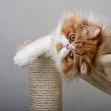 Contenga el gatito persa del color rojo y blanco Fotos de archivo