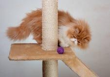 Contenga el gatito persa del color rojo y blanco Foto de archivo