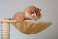 Contenga el gatito persa del color rojo y blanco Imagenes de archivo
