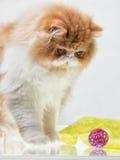Contenga el gatito persa del color rojo y blanco Foto de archivo libre de regalías