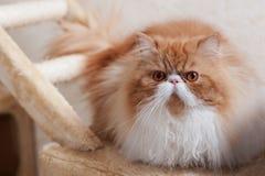 Contenga el gatito persa del color rojo y blanco Imágenes de archivo libres de regalías