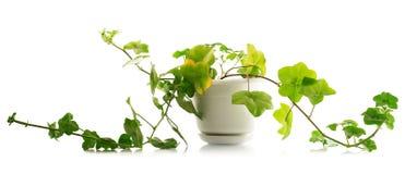 Contenga el Pelargonium y el pote de la planta aislados en blanco Imagen de archivo libre de regalías