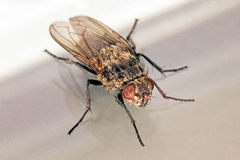 Contenga la opinión oblicua macra de la mosca sobre blanco y gris foto de archivo