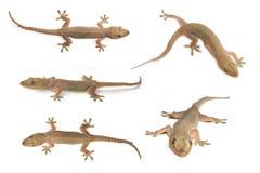Contenga la salamandra o la salamandra o el lagarto Mitad-tocada con la punta del pie de la casa Imagenes de archivo