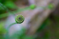 Contenitore di fiore del papavero Immagine Stock
