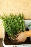 Contenitore in pieno delle erbe che sono preparate per piantare Fotografia Stock Libera da Diritti